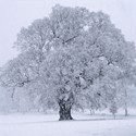 Ancient Oak in Snowstorm, 2008. Print Status: printed and in stock.  To order a print please contact info@maxarush.com