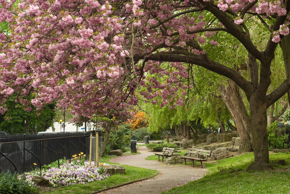Cherry Blossom, Colebrook Row Gardens, 2010. Commission for Islington Council