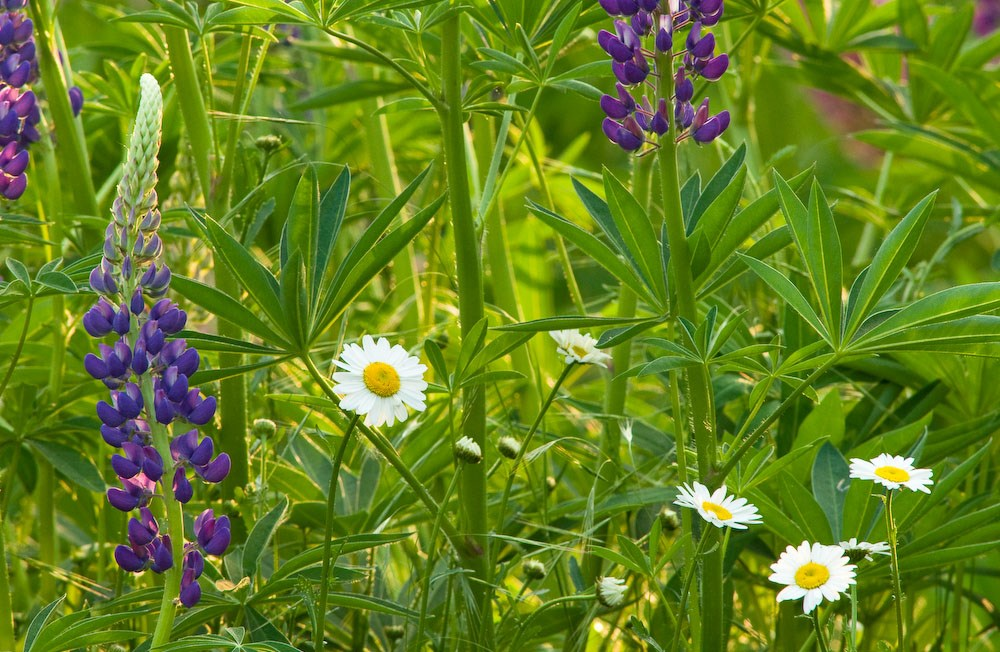 Lupins And Daisies, Gillespie Park, 2010. Commission for Islington Council