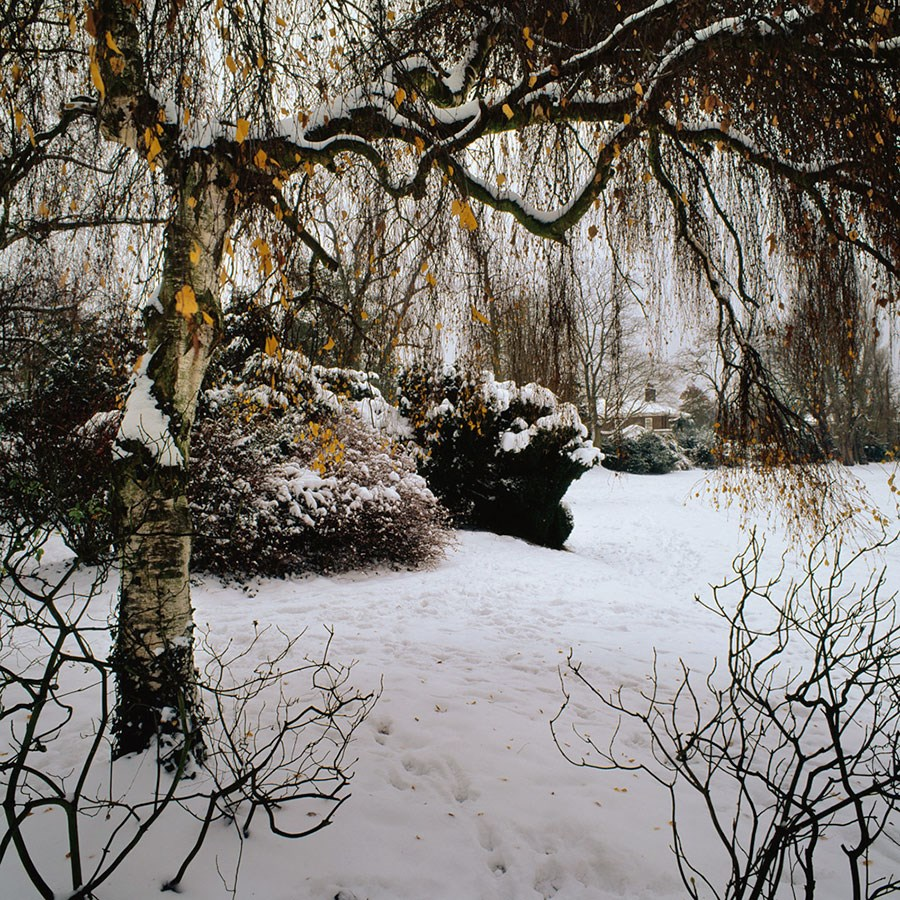 "Winter Birch Tree, Queen Marys Gate, 2010. Mounted Print, 12"" sq in 40x50cm mount, signed and titled. £37.50"