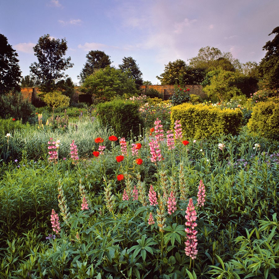 "Lupins and Summer Evening Sky, 2010. Mounted Print, 12"" sq in 40x50cm mount, signed and titled. £37.50"