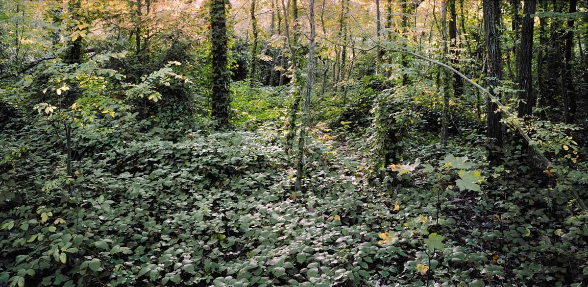 Bramble Carpet, Deep Woods, 2013. Print Status: Printed, see Christmas Offer page. To order a print please contact info@maxarush.com
