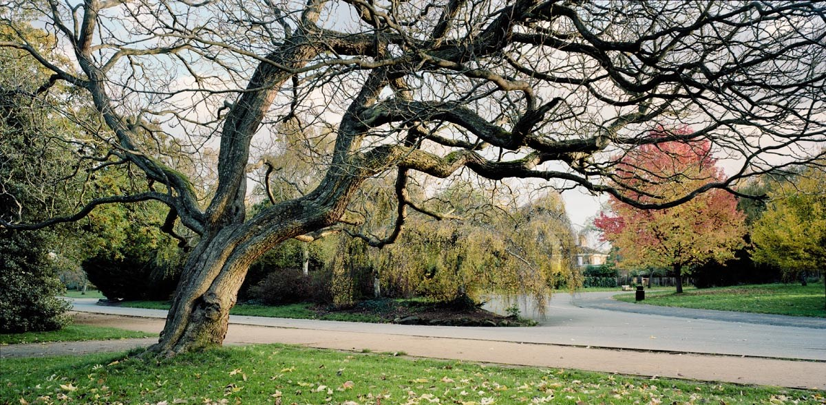 Leaning Catalpa in Autumn, 2013. Print Status: not yet printed. To order a print please contact info@maxarush.com