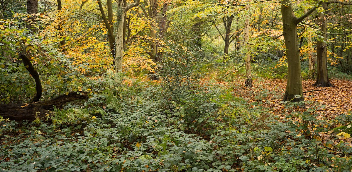 Autumn Understory, The English Woodland