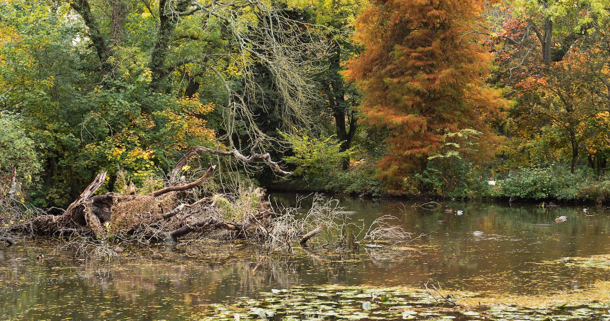 Submerged Tree and Autumn Cypress