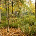 Autumn Leaves, Berries and Ferns, Silver Birch Glade