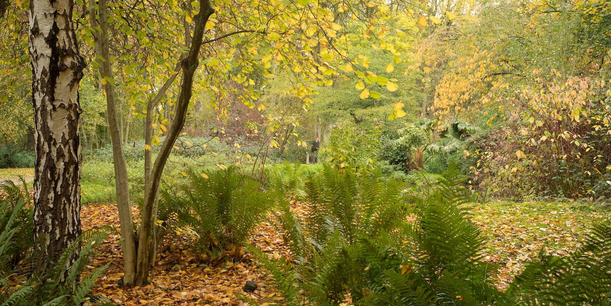 Autumn Leaves and Ferns, Silver Birch Glade