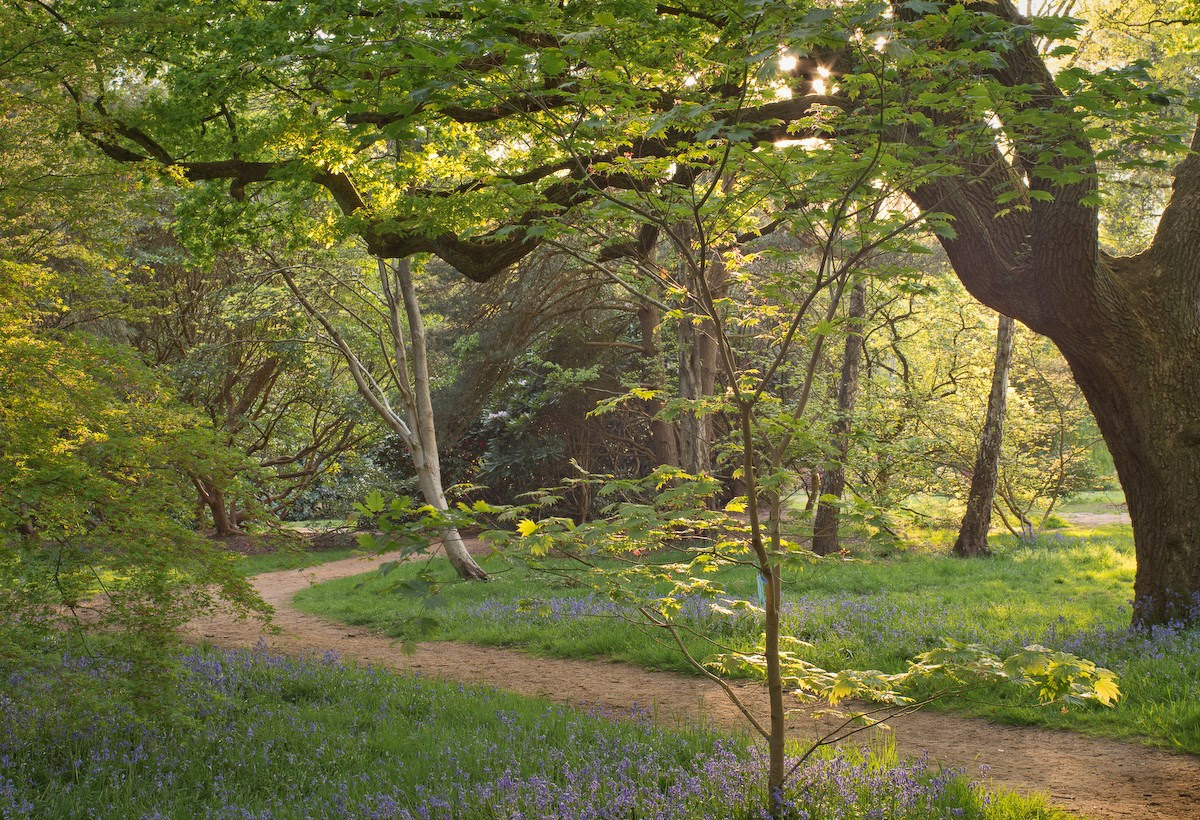 Path through the Acer Glade, May Evening