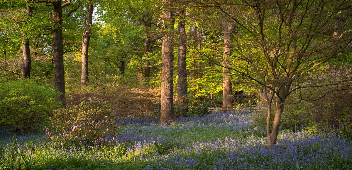 Bluebells in Evening Sun, Acer Glade, 2016