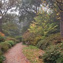 Autumn Trail with Liriodendron, Richmond Park