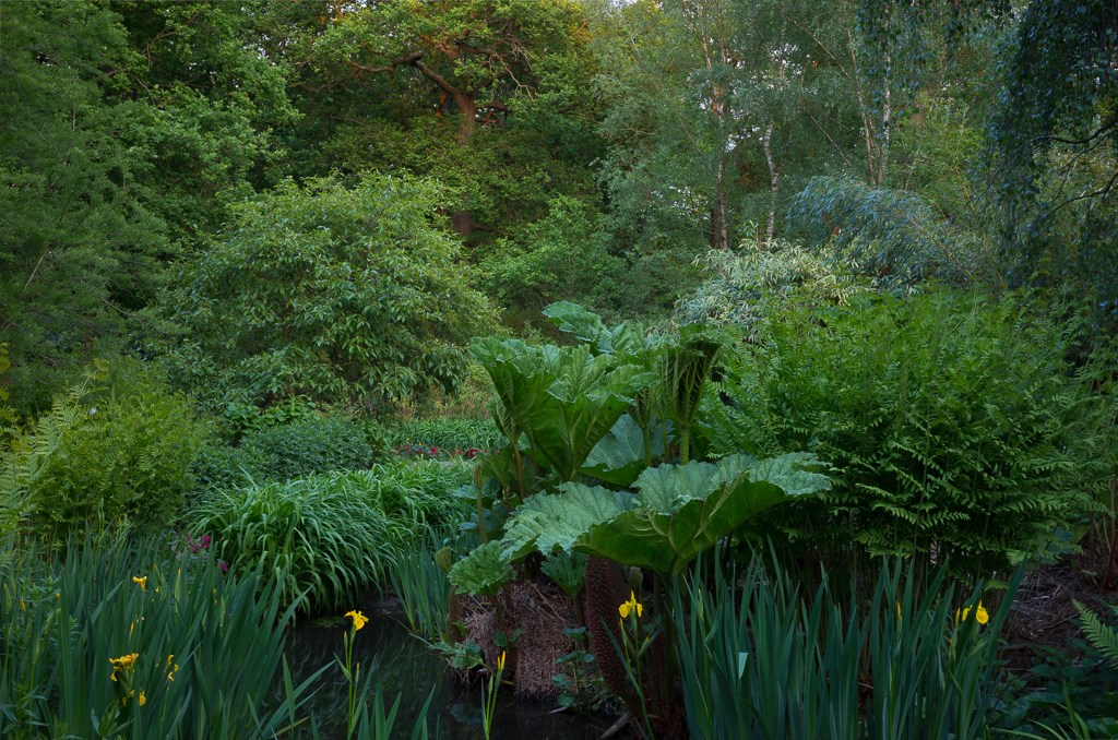 Yellow Iris and Gunnera, The Bog Garden, May 2018
