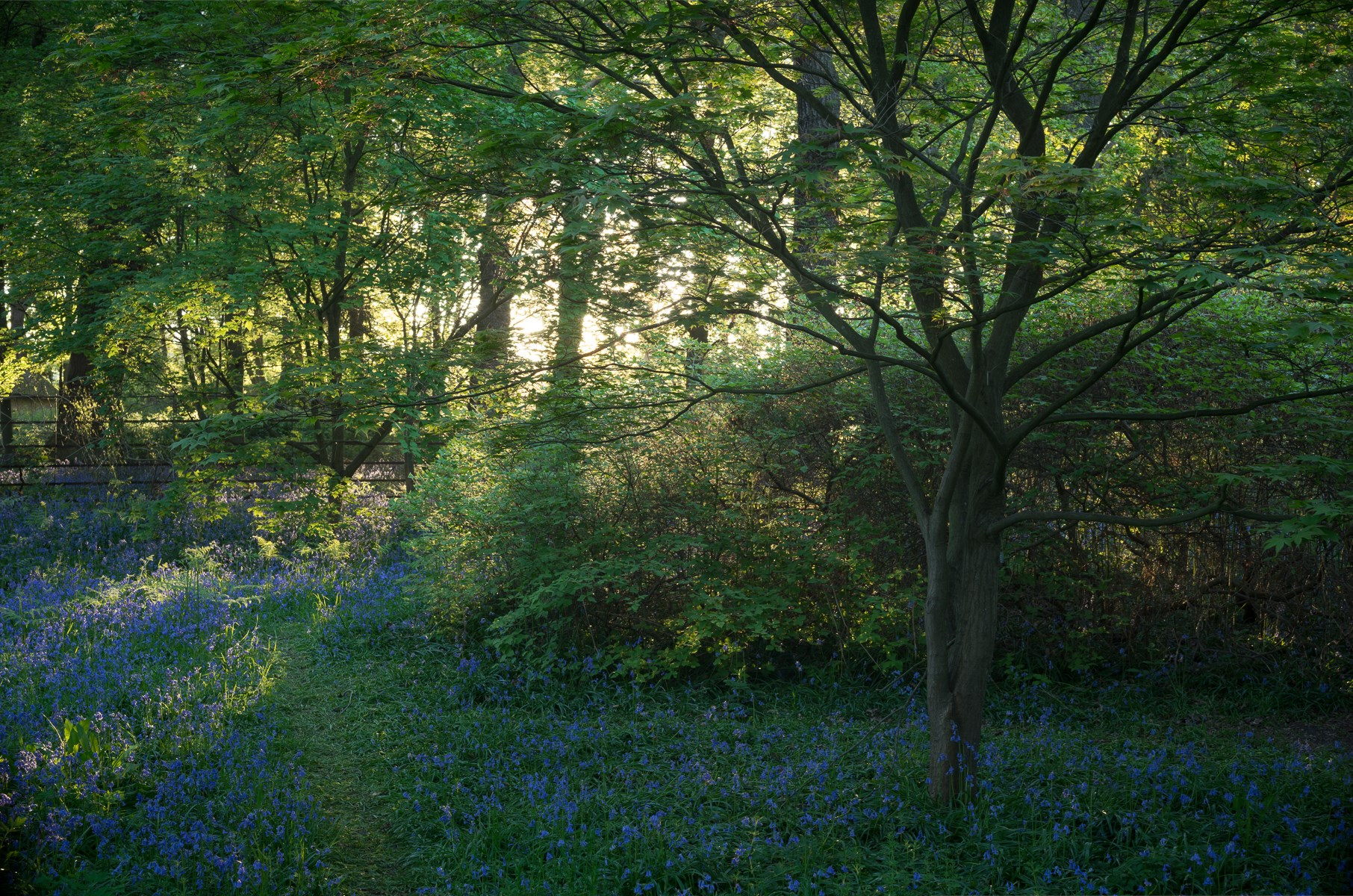 Sunrise and Bluebells, Acer Glade, May 2018
