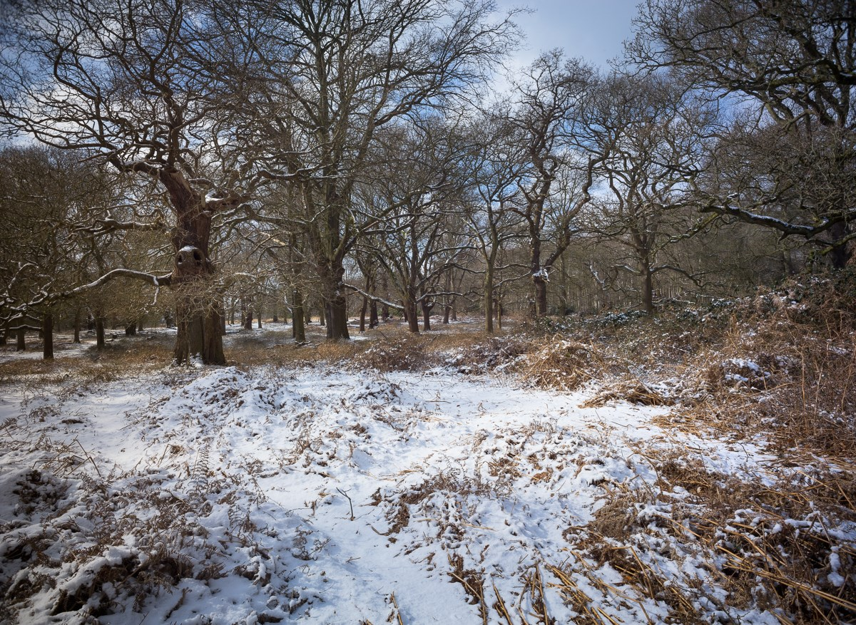 Bracken and Oaks in Snow, Queen Elizabeth's Plantation, 2018. To order a print please contact info@maxarush.com