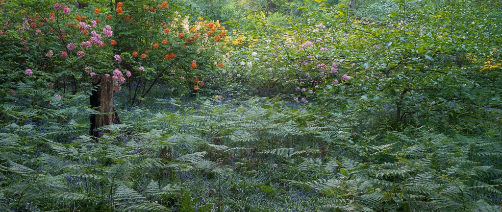 Bracken and Blossom, Old Nursery Glade. Isabella Plantation, Richmond Park, 2018
